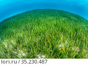 Seagrass meadow (Cymodocea rotundat). Seagrass is threatened in the Maldives, where many resorts actively pluck the plants from the water to create a sandy... Стоковое фото, фотограф Alex Mustard / Nature Picture Library / Фотобанк Лори