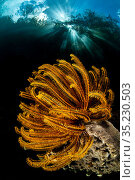 In-camera double exposure of Bennett's feather star (Oxycomanthus bennetti) growing in shallow water beneath trees, with sunburst. The Passage... Стоковое фото, фотограф Alex Mustard / Nature Picture Library / Фотобанк Лори