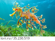 Leafy seadragon (Phycodurus eques) male carrying eggs, swims over... Стоковое фото, фотограф Alex Mustard / Nature Picture Library / Фотобанк Лори