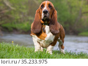 Basset Hound standing on riverbank. Illinois, USA. May. Стоковое фото, фотограф Lynn M. Stone / Nature Picture Library / Фотобанк Лори