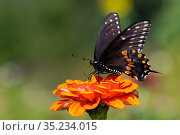 Spicebush swallowtail butterfly (Papilio troilus) nectaring on Zinnia. Connecticut, USA. August. Стоковое фото, фотограф Lynn M. Stone / Nature Picture Library / Фотобанк Лори