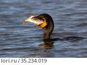 Double-crested cormorant (Phalacrocorax auritus) feeding on Blue striped grunt (Haemulon sciurus) fish prey. Tampa Bay, Tierra Verde, Florida, USA, August. Стоковое фото, фотограф Lynn M. Stone / Nature Picture Library / Фотобанк Лори
