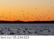 Tundra swan (Cygnus columbianus) flock on brackish river at sunset with Canvasback (Aythya valisineria) duck flock in flight. Chesapeake Bay, Maryland, USA. February. Стоковое фото, фотограф Lynn M. Stone / Nature Picture Library / Фотобанк Лори
