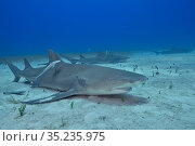 Lemon shark (Negaprion brevirostris) group on sea floor surrounded by Whitefin sharksucker (Echeneis neucratoides) remoras. Bahamas. Стоковое фото, фотограф Pascal Kobeh / Nature Picture Library / Фотобанк Лори