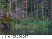 Beaver (Castor fiber) swimming , Malingsbo-Kloten Nature Reserve, Vastmanland, Sweden. Стоковое фото, фотограф Staffan Widstrand / Nature Picture Library / Фотобанк Лори