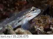 Bridled Goby (Coryphopterus glaucofraenum), Banco Chinchorro Biosphere Reserve, Caribbean region, Mexico, May. Стоковое фото, фотограф Claudio Contreras / Nature Picture Library / Фотобанк Лори