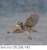 Burrowing owl (Athene cunincularia) in flight, Marana, Arizona Sonoran Desert, USA. Стоковое фото, фотограф Jack Dykinga / Nature Picture Library / Фотобанк Лори