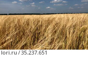 Camera moving through the wheat field with golden ripening ears. Стоковое видео, видеограф Кекяляйнен Андрей / Фотобанк Лори
