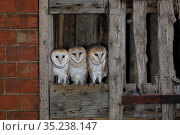 RF - Barn Owl, (Tyto alba), young in nest about to fledge, UK, , Note... Стоковое фото, фотограф Andy Rouse / Nature Picture Library / Фотобанк Лори