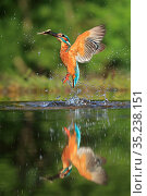 RF - Kingfisher, (Alcedo atthis), diving for fish, UK. Стоковое фото, фотограф Andy Rouse / Nature Picture Library / Фотобанк Лори