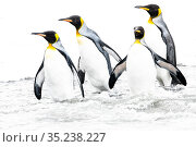 RF - King penguin (Aptenodytes patagonicus), four returning to sea... Стоковое фото, фотограф Nick Garbutt / Nature Picture Library / Фотобанк Лори