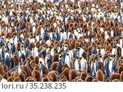 RF - King penguin (Aptenodytes patagonicus) colony with adults and... Стоковое фото, фотограф Nick Garbutt / Nature Picture Library / Фотобанк Лори