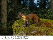 Pine marten (Martes martes) standing amongst moss in coniferous forest, at dusk. Loch Lomond and The Trossachs National Park, Scotland, UK. August. Camera trap image. Стоковое фото, фотограф Terry Whittaker / Nature Picture Library / Фотобанк Лори