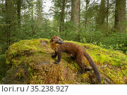Pine marten (Martes martes) amongst moss in coniferous forest. Loch Lomond and The Trossachs National Park, Scotland, UK. August. Camera trap image. Стоковое фото, фотограф Terry Whittaker / Nature Picture Library / Фотобанк Лори