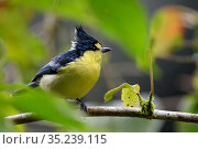 Taiwan yellow tit ( Machlolophus holsti ) framed by leaves. Highlands of Taiwan, Taiwan. Endemic. Стоковое фото, фотограф Fabian Muhlberger / Wild Wonders of China / Nature Picture Library / Фотобанк Лори