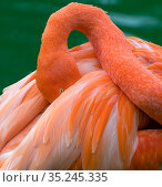 RF - American flamingo (Phoenicopterus ruber) head tucked between wings while preening feathers. Captive. (This image may be licensed either as rights managed or royalty free.) Стоковое фото, фотограф Ernie Janes / Nature Picture Library / Фотобанк Лори