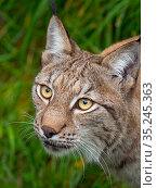RF - Eurasian lynx (Lynx lynx) portrait. Captive. (This image may... Стоковое фото, фотограф Ernie Janes / Nature Picture Library / Фотобанк Лори