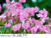 Blühender Klee mit violetten Blüten in einem Garten im Frühling. Blooming... Стоковое фото, фотограф Zoonar.com/Kai Schirmer / easy Fotostock / Фотобанк Лори
