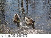 Уточки весной во дворах Санкт-Петербурга (2019 год). Стоковое фото, фотограф Татьяна Шикова / Фотобанк Лори