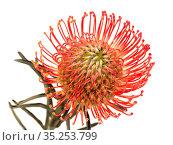 Red Leucospermum, AKA pincushion protea isolated on white background. Стоковое фото, фотограф Tamara Kulikova / Фотобанк Лори
