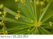 papyrus sedge radial green leaves natural macro floral background. Стоковое фото, фотограф Tamara Kulikova / Фотобанк Лори