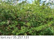 Sweet thorn or karoo thorn (Vachellia karroo, Acacia karroo or Acacia... Стоковое фото, фотограф J M Barres / age Fotostock / Фотобанк Лори