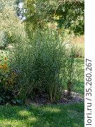 The spotted plant (Miscanthus sinensis var. zebrinus) grows in a flowerbed. Стоковое фото, фотограф Татьяна Ляпи / Фотобанк Лори