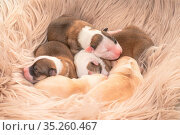 Vier Tage alte Welpen (Islandhunde) Стоковое фото, фотограф Zoonar.com/Monika Scheurer / easy Fotostock / Фотобанк Лори