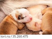 Vier Tage alter Welpe (Islandhund) Стоковое фото, фотограф Zoonar.com/Monika Scheurer / easy Fotostock / Фотобанк Лори