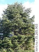 Cilician fir or Taurus fir (Abies cilicica) is an evergreen coniferous... Стоковое фото, фотограф J M Barres / age Fotostock / Фотобанк Лори