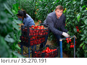 Farmer with Hispanic wife harvesting tomatoes in greenhouse. Стоковое фото, фотограф Яков Филимонов / Фотобанк Лори
