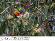 Rainbow lorikeet (Trichoglossus moluccanus) feeding from the flower of a eucalyptus tree.? Gardenvale, Victoria, Australia.?May. Стоковое фото, фотограф Doug Gimesy / Nature Picture Library / Фотобанк Лори