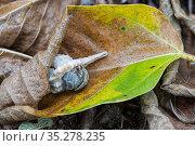 Terrestrial hermit crab (Coenobitidae) Islas Marias Archipelago, Mexico. Стоковое фото, фотограф Francisco Marquez / Nature Picture Library / Фотобанк Лори
