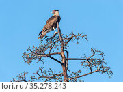 Caracara (Caracara cheriway pallidus) perched in tree, Islas Marias Archipelago, Marias Biosphere Reserve, Mexico. Стоковое фото, фотограф Francisco Marquez / Nature Picture Library / Фотобанк Лори