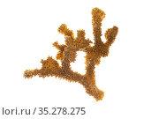 Stony coral ( Pocillopora eydouxi ) on white background, Islas Marias Archipelago, Marias Biosphere Reserve, Mexico. Стоковое фото, фотограф Francisco Marquez / Nature Picture Library / Фотобанк Лори