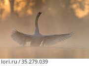 Mute swan (Cygnus olor) stretching its wings after preening on a misty morning  Valkenhorst Nature reserve, Valkenswaard, The Netherlands  May. Стоковое фото, фотограф David Pattyn / Nature Picture Library / Фотобанк Лори