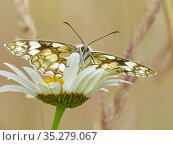 Marbled White (Melanargia galathea) in meadow UK. Стоковое фото, фотограф Andy Rouse / Nature Picture Library / Фотобанк Лори