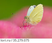 RF - Small white butterfly (Pieris napi) feeding on sedum Wales, UK. September. (This image can be sold as Rights managed or Royalty free). Стоковое фото, фотограф Andy Rouse / Nature Picture Library / Фотобанк Лори