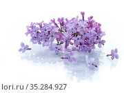 bouquet of beautiful spring flowers of lilac on white background. Стоковое фото, фотограф Peredniankina / Фотобанк Лори