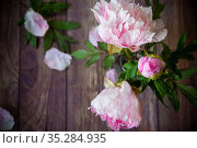 beautiful blooming peonies with petals on a wooden table. Стоковое фото, фотограф Peredniankina / Фотобанк Лори