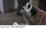 Лемур ест морковку. Lemur eats a carrot. Healthy food, the animal eats a vegetable. Стоковое видео, видеограф Мiлана Х / Фотобанк Лори
