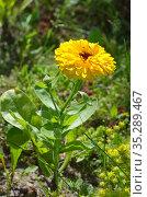 Цветущая желтая махровая календула, или ноготки (лат. Calendula officinalis) в летнем саду. Стоковое фото, фотограф Елена Коромыслова / Фотобанк Лори