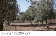 Branch with growing olives on olive tree on mediterranean farm. Стоковое видео, видеограф Яков Филимонов / Фотобанк Лори