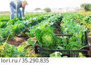 Freshly picked savoy cabbage in box on farm field. Стоковое фото, фотограф Яков Филимонов / Фотобанк Лори