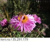 Пчела на цветке. Стоковое фото, фотограф Елизарова Ирина / Фотобанк Лори