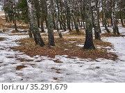 Thawed patches in a birch grove in early spring. Стоковое фото, фотограф Евгений Харитонов / Фотобанк Лори