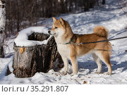 Shiba inu standing by a snow-covered tree stump, forest, winter. Стоковое фото, фотограф Михаил Панфилов / Фотобанк Лори
