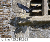 Jackdaw (Corvus monedula) flying from its nest site behind old stone louvres in a church window, Lacock, Wiltshire, UK, May. Стоковое фото, фотограф Nick Upton / Nature Picture Library / Фотобанк Лори