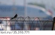 Black Drongo bird on the fence. Стоковое видео, видеограф Игорь Жоров / Фотобанк Лори