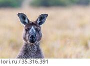 Kangaroo Island kangaroo (Macropus fuliginosus fuliginosus) portrait,with rare facial markings. Kangaroo Island, South Australia, Australia. January, 2016. Стоковое фото, фотограф Doug Gimesy / Nature Picture Library / Фотобанк Лори